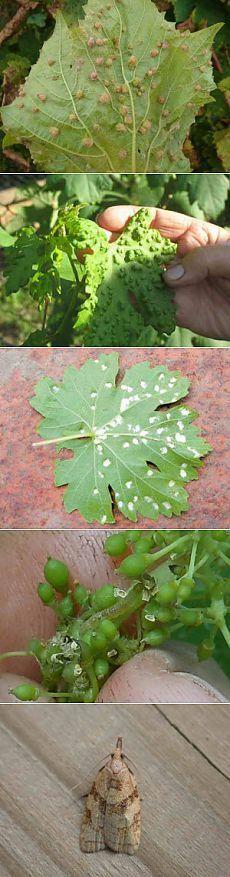 Борьба с вредителями винограда картинки | Дача - впрок