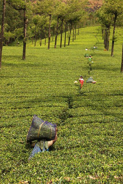 Picking tea in one of Munnars tea estates, India