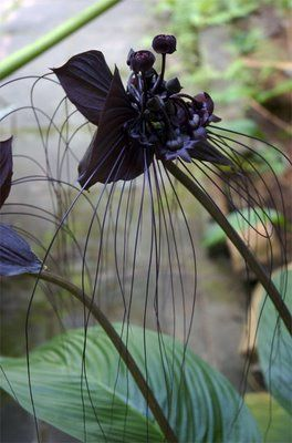Black Bat Flower Tacca_chantrieri A humidity loving sub tropical - will take some winter cold near freezing. Unusual looking flower :)