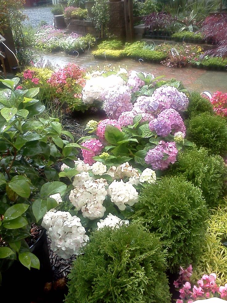 37 best images about arborvitae on pinterest sun white for Arborvitae garden designs