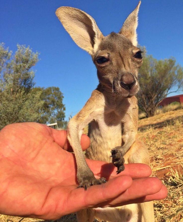 Best Kangaroos Images On Pinterest Blame Documentaries And - Kangaroo sanctuary alice springs