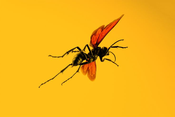 Absurd Creature of the Week: If This Wasp Stings You, 'Just Lie Down and Start Screaming' | WIRED