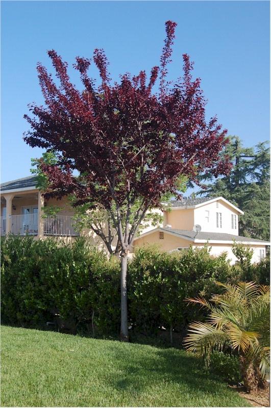 Dwarf flowering plum purple pony prunus cerasifera for Dwarf flowering trees