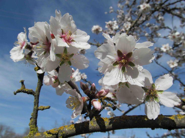 14 Best Flowering Almond Shrubs Images On Pinterest