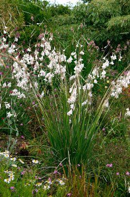 Dierama pulcherrimum var. album | /RHS Gardening