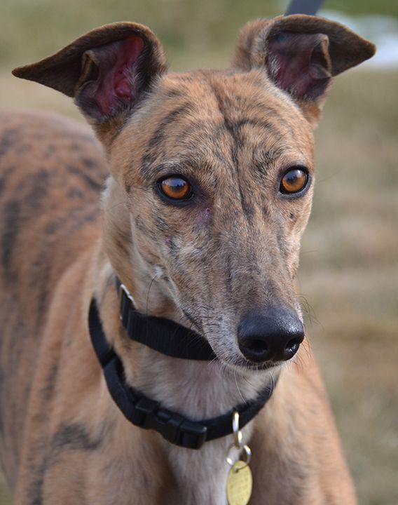 Greyhound dog for Adoption in Minneapolis, MN. ADN-465104 on PuppyFinder.com Gender: Female. Age: Adult