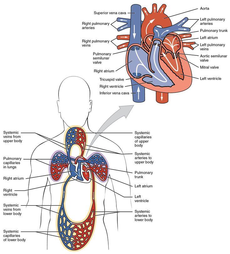 Mejores 10 imágenes de anatomy en Pinterest | Anatomía ...