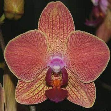 Орхидея фаленопсис мария тереза