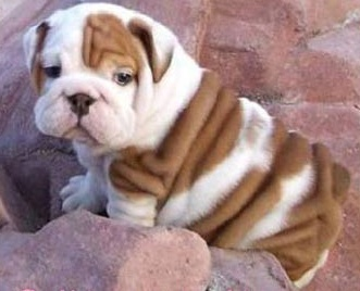 Graduation Present No.1: Animal Lovers, Victorian Bulldog, English Bulldog Puppies, Pet, Baby Bulldogs, English Bulldogs Puppys, Bull Dogs, Puppys Food, Blenheim Spaniels