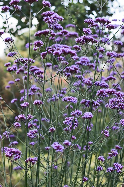 Verbena bonariensis. Herbaceous perennial. Plant in full sun in well-drained soil. Flowers in summer and autumn.