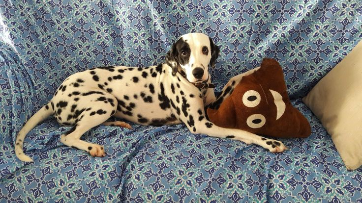 Meu pai me deu um 💩 e eu amei.  #dalmatian #doglover #dogstyle #dalmata #dog #pet