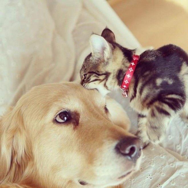 Ichimi è il nome del gattino, Ponzu invece è quello del golden retriever che ha deciso di adottarlo dopo che mamma gatta l'aveva abbandonato. E a giudicare dai momenti di tenerezza e intimità che  Jessiepon , il padrone del cane e del micio, è riuscito ad immortalare, par