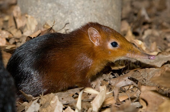 sengiGrayish Buff, Litter Size, Africa Small, South Africa, Animal Fun, Sandy Brown, Elephant Shrew, Capes Province, Breeds Seasons