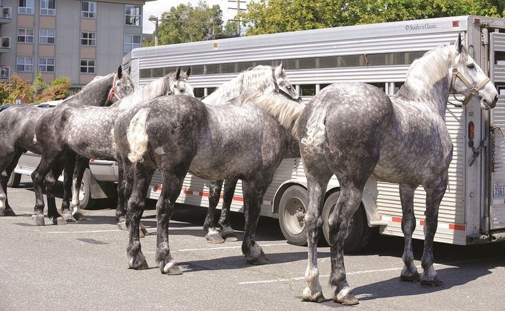 Percheron Horse Percheron Parade Horses Percheron Transportation Percheron Ag Horse Love Percheron Horses Draft Horses