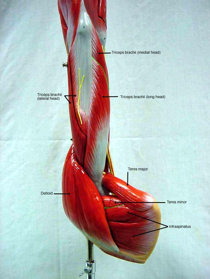 Anatomy Physiology Shs 310 Exam 1 At Arizona State: 85 Best Images About Anatomy Lab 2 On Pinterest