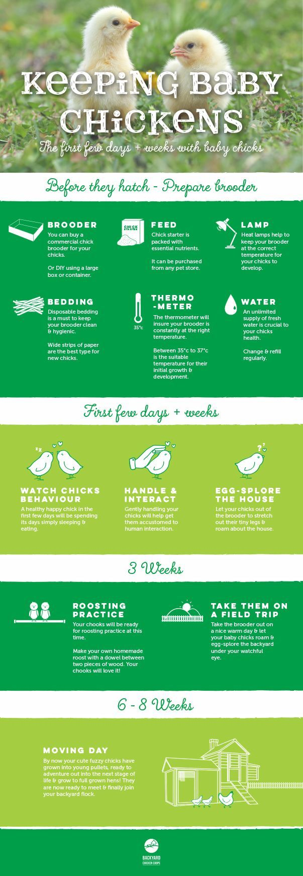 Keeping baby chickens and raising them from teeny tiny balls of fluff into charming chooks will be a rewarding experience for any chicken keeper. Here is a visual guide on what to prepare and do the first few days and weeks with your baby chickens. Read our article here for more in depth information, http://www.backyardchickencoops.com.au/first-few-days-and-weeks-with-baby-chicks/ #loveyourchickens #babychickens #infographic