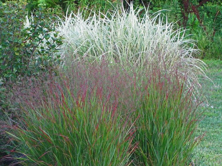 101 best images about perennials plants that come for Garden tall grass plants