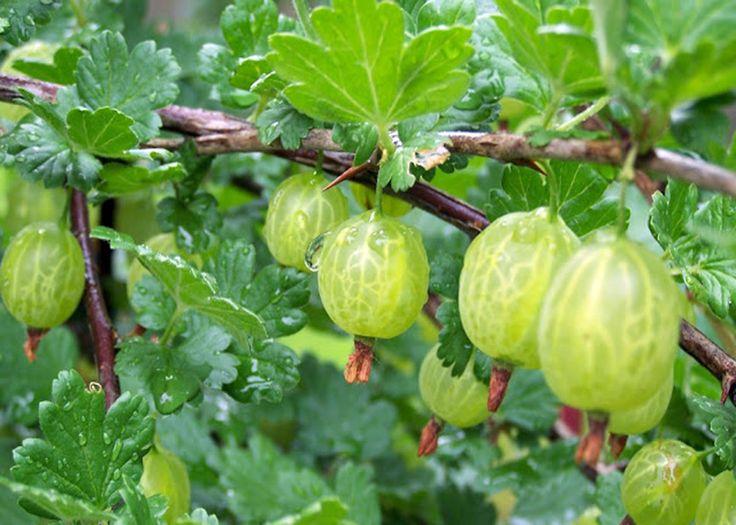De Indiase kruisbes is een van de meest bekende planten in de kruidengeneeskunde. Mensen uit India hebben dit geweldige fruit voor meer dan 5000 jaar gebruikt om hun immuunsysteem te stimuleren en …
