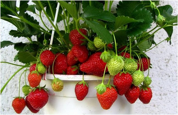 В холодные зимние вечера хочется порой вкусить ягоды земляники. Конечно, можно пойти и купить ее в супермаркете. Но где гарантия, что польза будет для нашего здоровья от покупной земляники? Ведь там много ненужных химических добавок. А ведь, как известно, урожаи этой ягоды можно получать начиная с весны и до самой поздней осени на своем приусадебном участке. Однако сейчас уже наступила