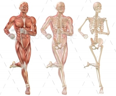 3D illustration render of a man running. Shows musculature, skeletal structure and a fade over of muscle over bone. http://3dstockimage.com/stock-photo/running-man-musculature-and-skeleton-visible-7599.html