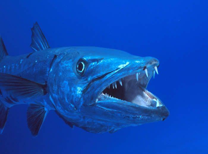 A Arte da Pesca: Peixes de Água Salgada - Barracuda