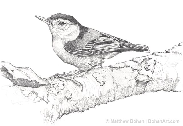 White-Breasted Nuthatch Pencil Sketch