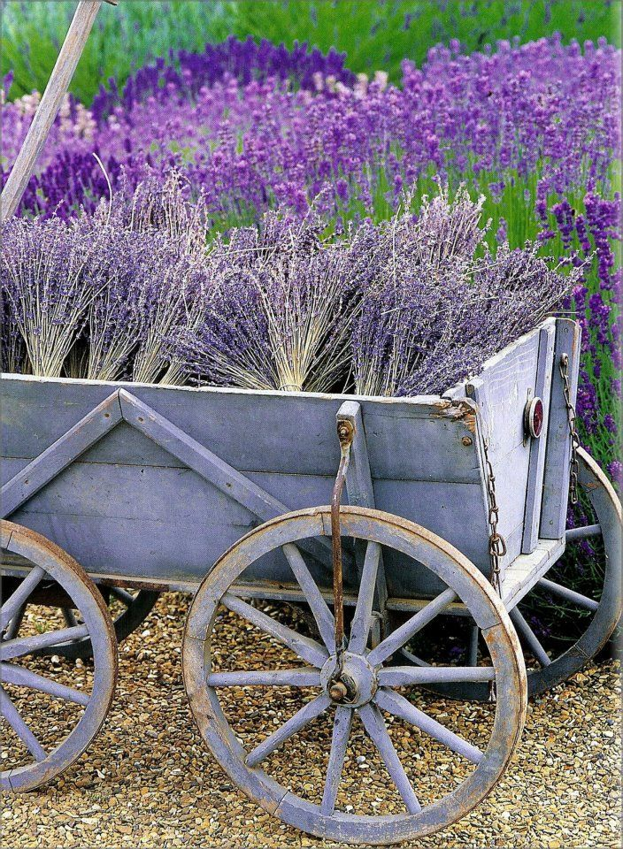 la récolte en Provence...If only I could grow that much lavender!