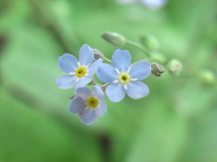 Незабу́дка (лат. Myosótis, от др.-гр. «мышиное ухо») — род растений семейства Бурачниковые. Однолетние или многолетние травы небольших размеров, обыкновенно сильно опушённые. Стебли ветвистые 10—40 см высотой. Цветки обычно голубые с жёлтым глазком, иногда розовые или белые, собраны в соцветия.