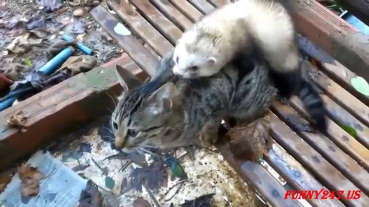 Ferret chat de couplage dans l'amour