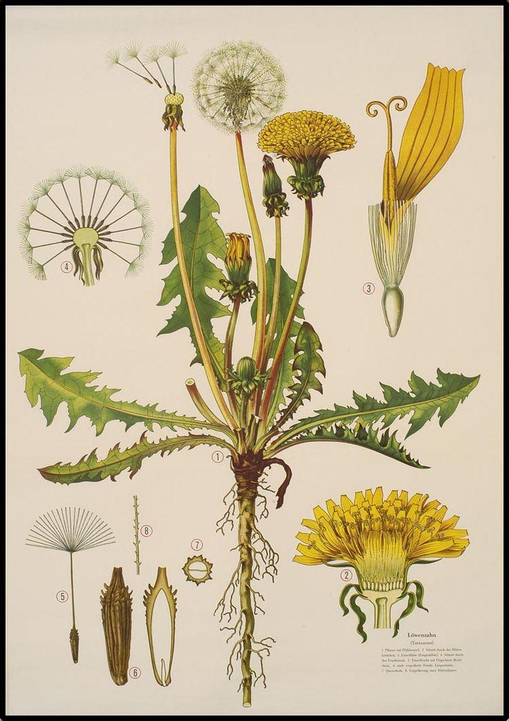 Taraxacum officinale - the dandelion - Haslinger Botanische Wandtafeln