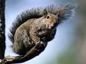 Eichhörnchen (c) BR