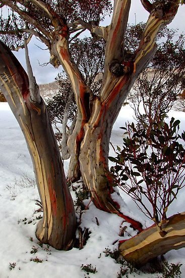 Eucalyptus pauciflora (snow gum) is a species of flowering plant in the family Myrtaceae. It is a small tree or large shrub growing 4–8 m (13–26 ft) tall, occasionally reaching 20 m (66 ft), and native to subalpine and lowland habitats in eastern Australia. It is the hardiest of all eucalyptus, surviving the severe winter temperatures of the Australian Alps. Other common names include cabbage gum, weeping gum and white sallee.