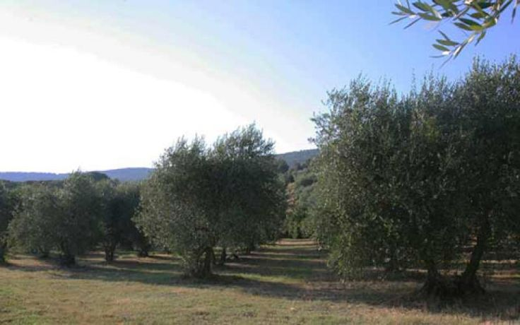 Leccino, Frantoio, Pendolino and Maurino are the varieties cultivated in the new olives trees. The plants are potted, and are pruned annually.