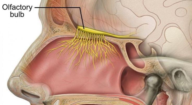 Bulbo olfatorio: definición, partes y funciones