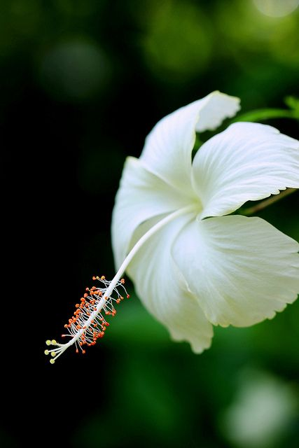 White Hibiscus | Flickr - Photo Sharing!