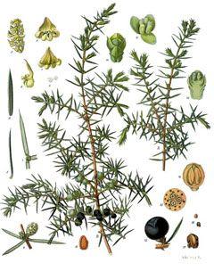 Juniperus communis -  Juniper, Common juniper