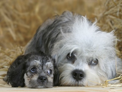 Dandie Dinmont Terrier with pup
