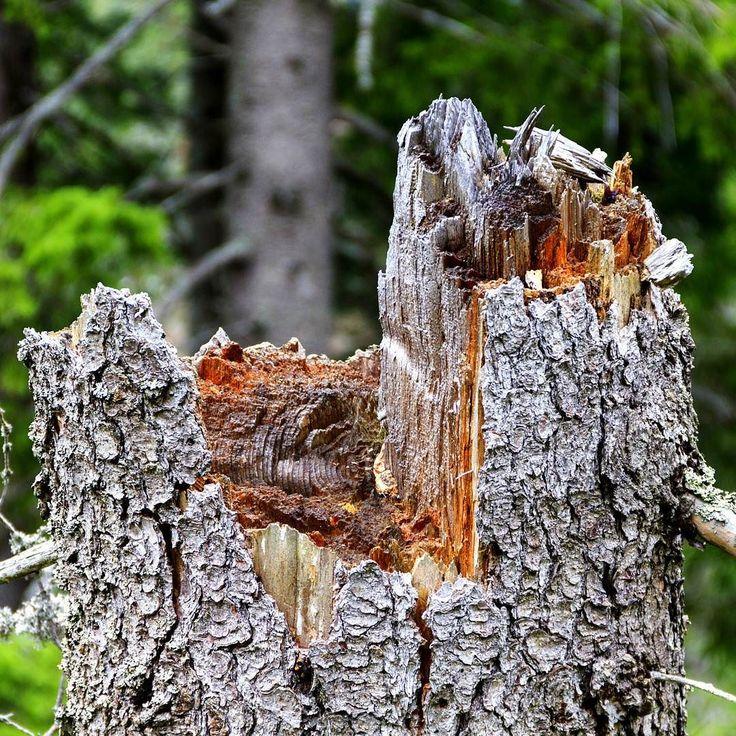 Złamany konary który przykuwa uwagę. #wood #nature #las