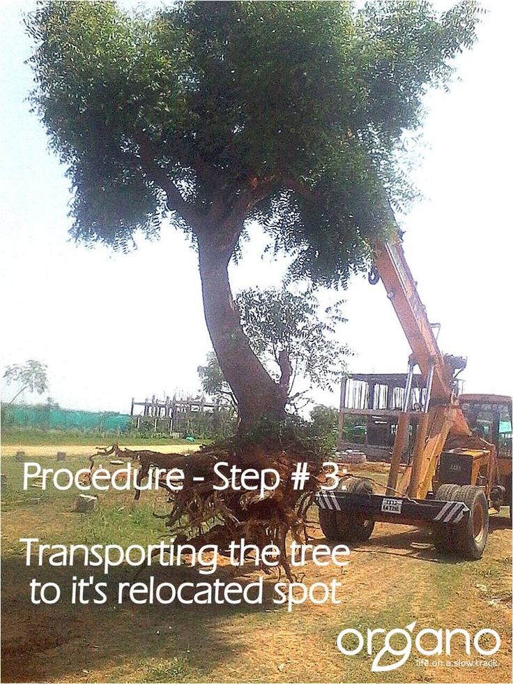 Step 3 in trans-planting a tree