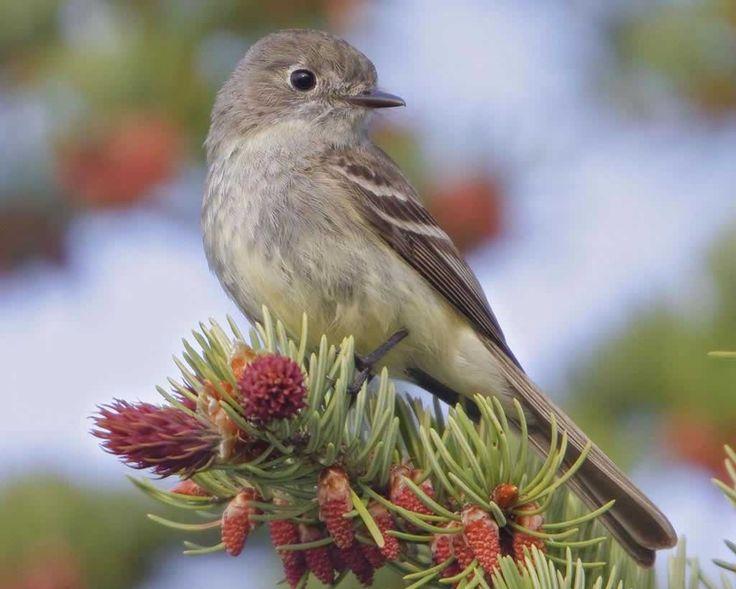 Dusky Flycatcher (Empidonax oberholseri) Audubon Field Guide
