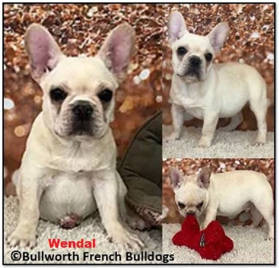 This Cream French Bulldog Male Puppy Is Ready To Go To His Forever