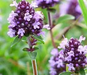 Serpolet <i>(Thymus serpyllum)</i>