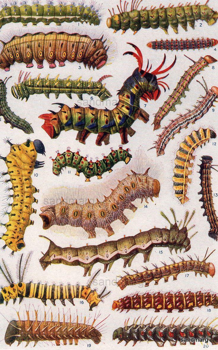 62 best caterpillars images on pinterest butterflies