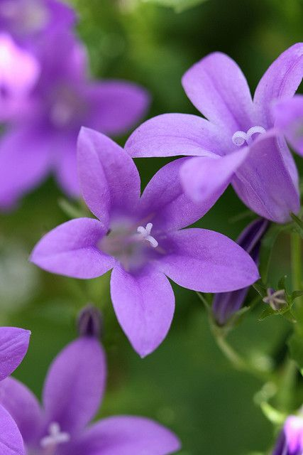 Campanula.. wow can't believe I've never seen/heard of them??