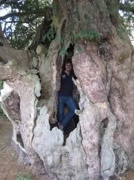 Oldest yew tree