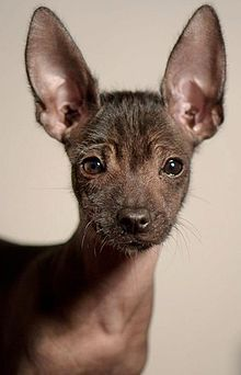 Mexican Hairless Dog - A.k.a. Xoloitzcuintle -  SO CUTE! I wonder if they are hypoallergenic