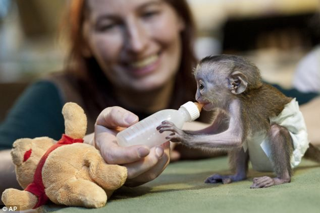 Mona monkey, 9 days old Magdeburg zoo, eastern germany