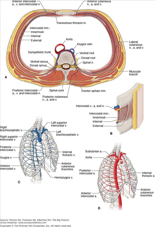 14 Best Muscle Images On Pinterest Anatomy Nursing