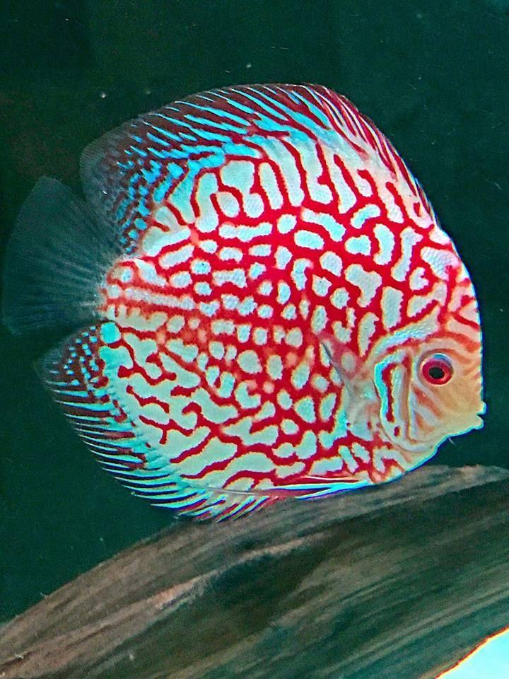 Hypnotic Discus Fish Discus Discusfish Discustropicalfish Discus Fish Aquarium Fish Tank Fish Tank