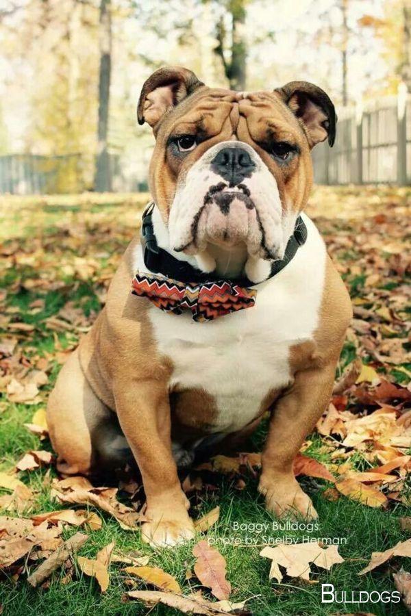 Bulldogs Puppy Bulldogsforlife Bulldogsarethebest Bulldog